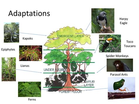 tropical forest plant adaptations adaptations to the tropical rainforest presentation in
