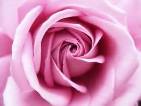Una rosa de color rosa by blacksuzu 1 jpg