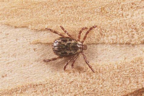 american tick ticks photo gallery 1