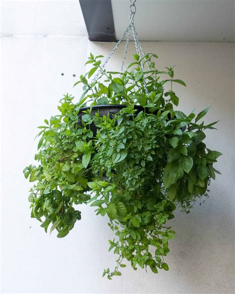 hanging herb garden indoor indoor herb garden ideas for beginners indoor plants expert