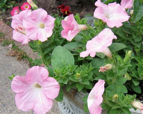plants wave petunias minding p s with q