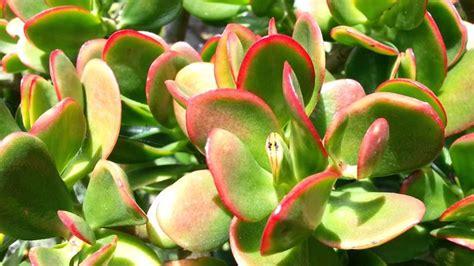 parte ricurva vaso crassula crassula piante grasse crassula arborescens