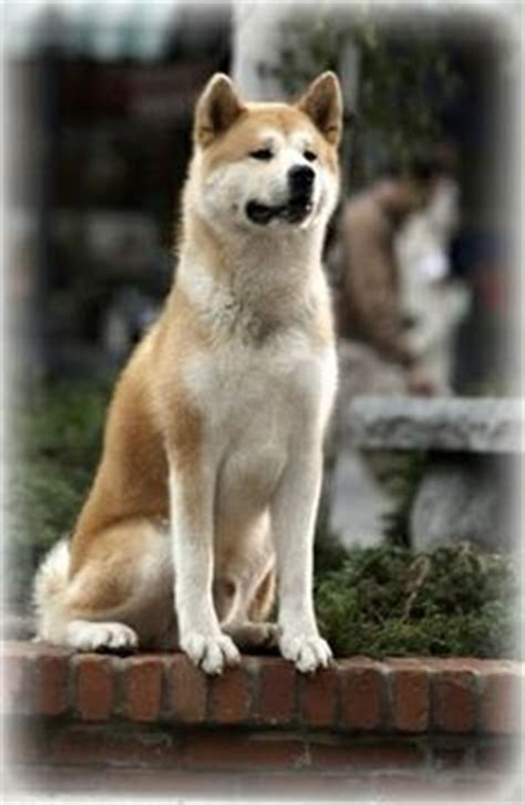 hachi breed 1000 images about hachiko on a statue and never forget you