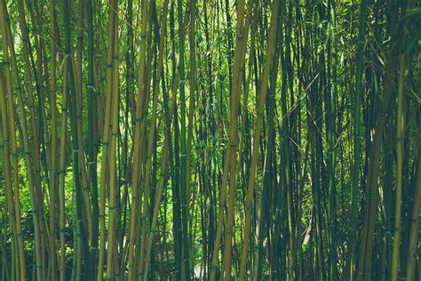 bambu in vaso bamb 249 coltivazione