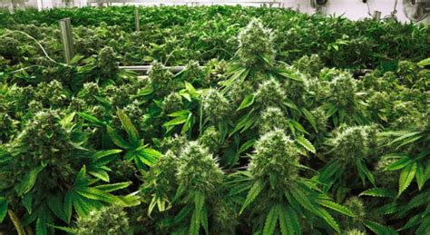 canapé prune investing in cannabis as a socially responsible investment