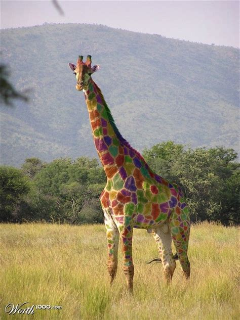 what color is a giraffe color coded giraffe pets pet charity events adoptions