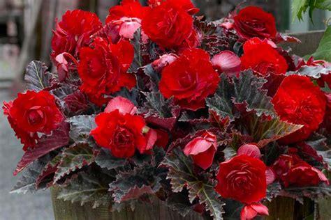 types of begonias