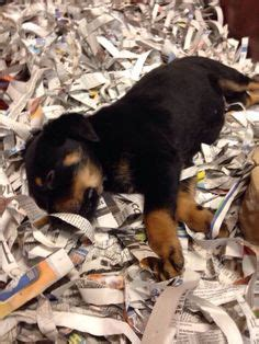 puppies rockford il adoptable rottweiler puppies rockford il noah s ark animal sanctuary inc