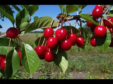 cherry tree no fruit cherries fruits benefits of cherry fruit cherries cherries fruit nutrition