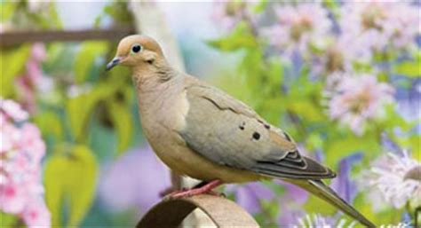 mourning dove from nc wins ncpedia