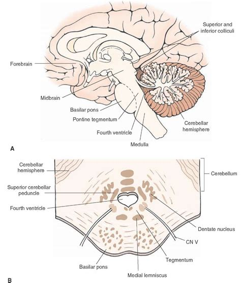 brainstem ii pons and cerebellum part 1