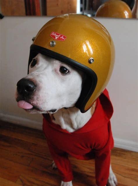 american pitbull terrier  tumblr