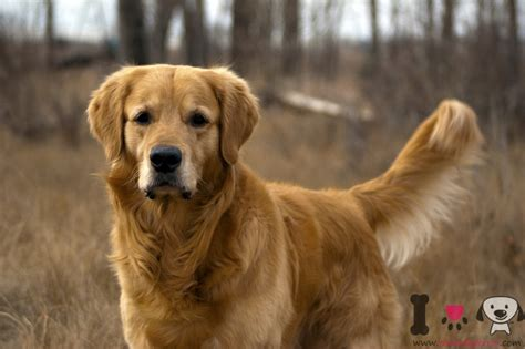 perro golden retriever golden retriever informaci 243 n sobre la raza de perros golden retriever