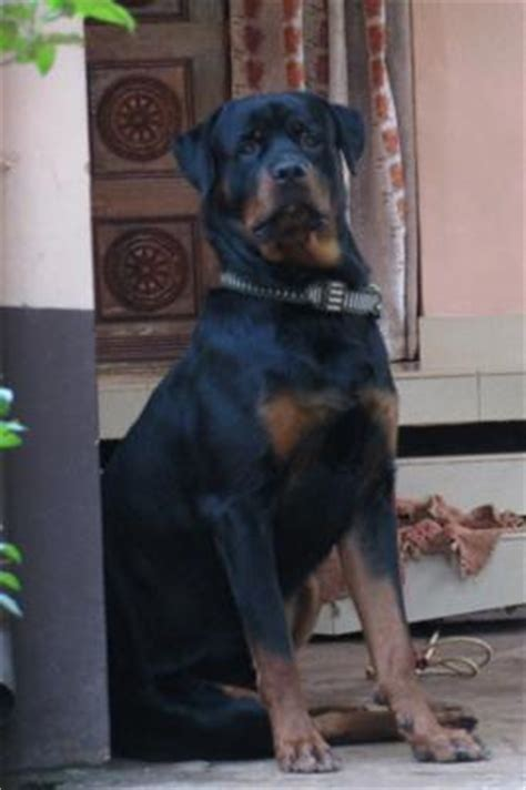 Do Rottweiler Shed by Rottweiler Puppy Growth Breeds Picture