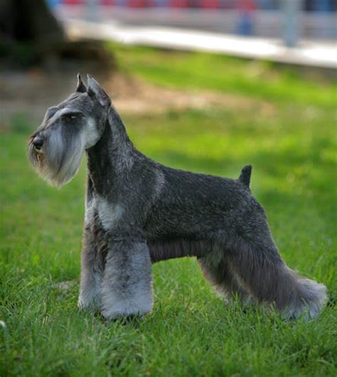 show me some hair cuts for miniature schnauzers miniature schnauzer grooming bathing and care espree