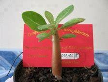 Adenium Thaisoco Dc adenium thaisocotranum potkembangku