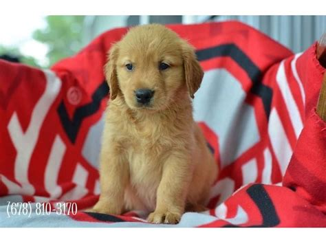 golden retriever puppies miami and golden retriever puppies available animals miami florida