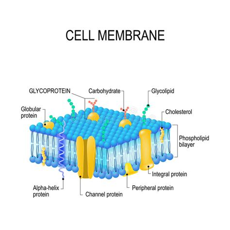 cell membrane stock vector illustration  channel cell