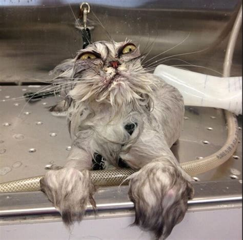 cat bathtub cat baths 6 things you should not do catster
