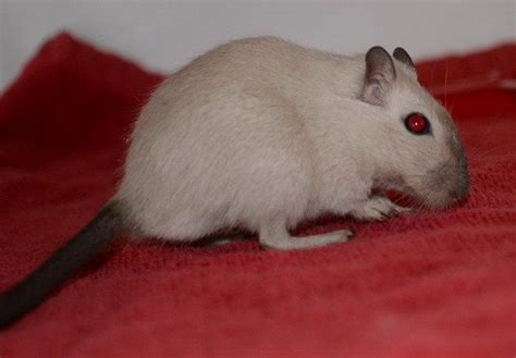 gerbil colors 97 best gerbils images on gerbil hamsters and