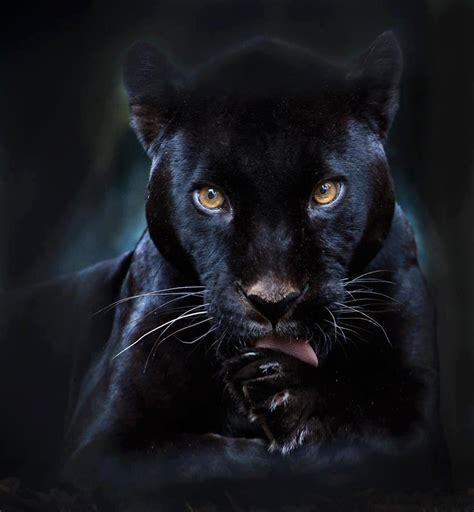 black panther black panther wild animals pinterest