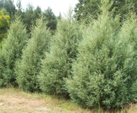 fast growing evergreens for quick privacy gardens a