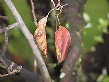maple tree wilting leaves wilting
