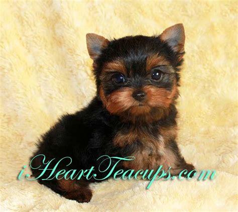 teacup yorkie for sale in los angeles more pics of mini teacup terrier puppy for sale los angeles quot elliott