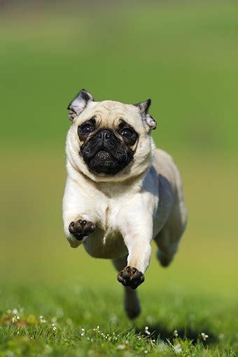pug running pug animal stock photos kimballstock