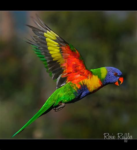 rainbow lorikeet colorful photo picture rainbow lorikeet in flight got to feed these birds and
