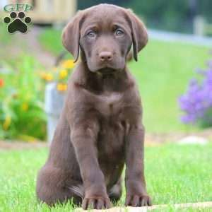 chocolate lab puppies for sale in pa chocolate lab puppies for sale in pa greenfield puppies