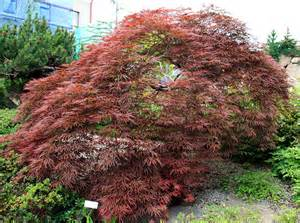 types of maple trees best trees to plant