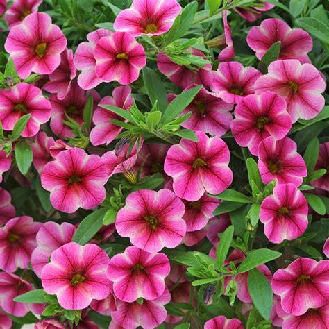 petunia can can rose star calibrachoa granny s plant