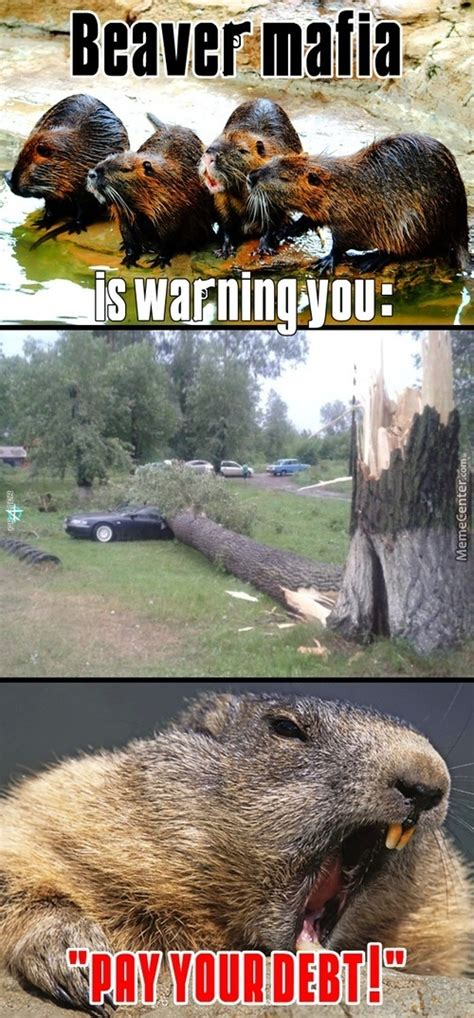 Beaver Meme - beaver memes best collection of funny beaver pictures
