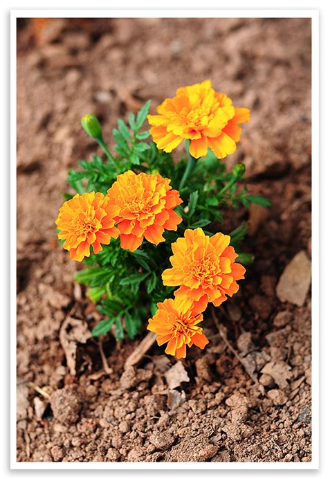 Tips For Growing Marigolds She Wears Many Hats Marigolds In Vegetable Garden