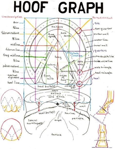 hoof diagram anatomy pictures think like a rick