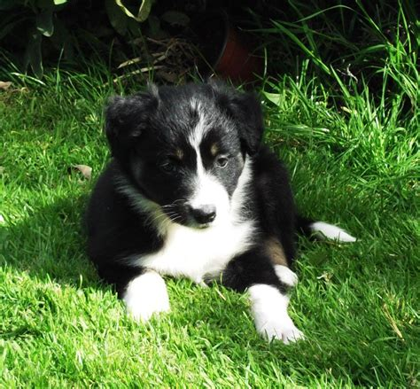 haired border collie puppies haired border collies crickhowell powys pets4homes