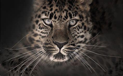 imagenes para fondo de pantalla leopardos fondos de leopardo fondos de pantalla