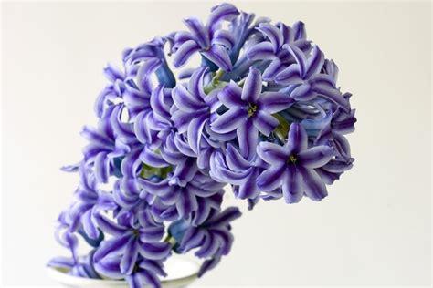 fiori di giacinto bulbo di giacinto bulbi caratteristiche bulbo di