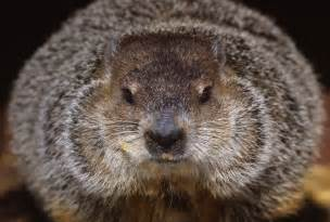 groundhog day groundhog how groundhog day history involves the groundhog