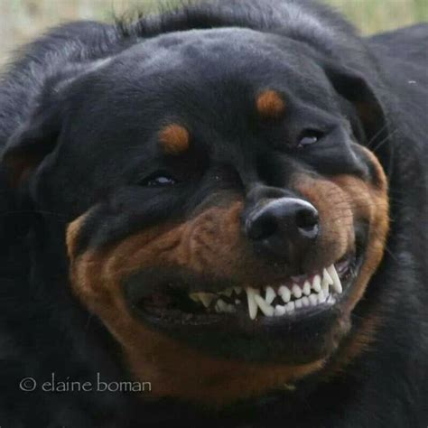 growling rottweiler