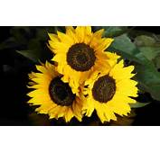Beautiful Sunflowers 40 Wallpaper  Nature