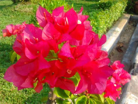 tokobungakarangan khasiatmanfaat bunga bugenvil