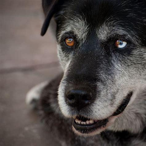 heterochromia in dogs with sectoral heterochromia heterochromia iridum
