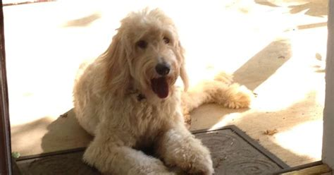 goldendoodle puppy eats everything goldendoodle dogs goldendoodle1