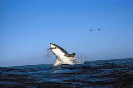 jaws jumps on boat great white shark jumping into boat
