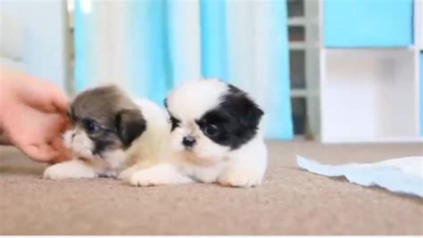 cheap shih tzu puppies cheap pomeranian mix shih tzu puppies fo for sale united states pets 1