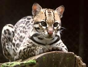 Jaguar Cat Weight The Ocelot The Largest Cat Of The Leopardus Genus