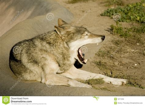 russian wolf royalty  stock images image