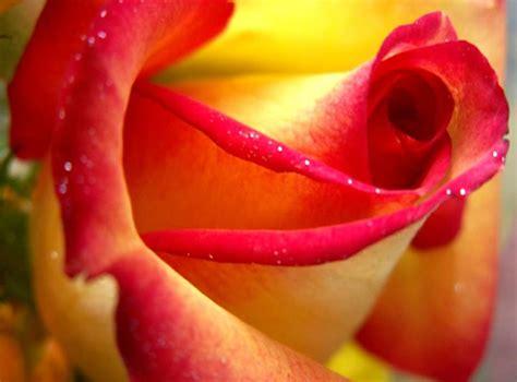 bellas flores amarillas y rojas mandarsaludoscom rosas im 225 genes fotos y gifs para compartir p 225 gina 5